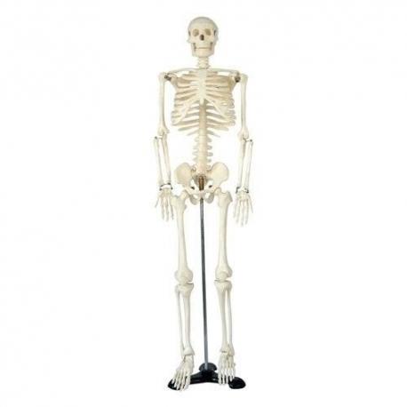 Grand squelette.