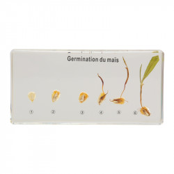 Germination du maïs